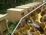 Плодные матки и пчелопакеты