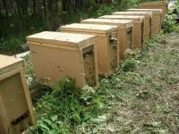 Пчелопакет Карпатка