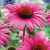 Эхинацея пурпурная, соцветие.