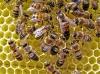 Пчеломатка, украинская степная